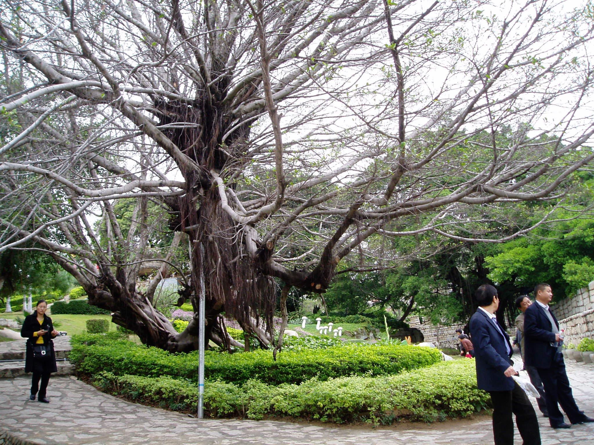 旅行心情记录:大榕树叶子已经没有了